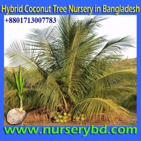 Hybrid Coconut Tree Nursery